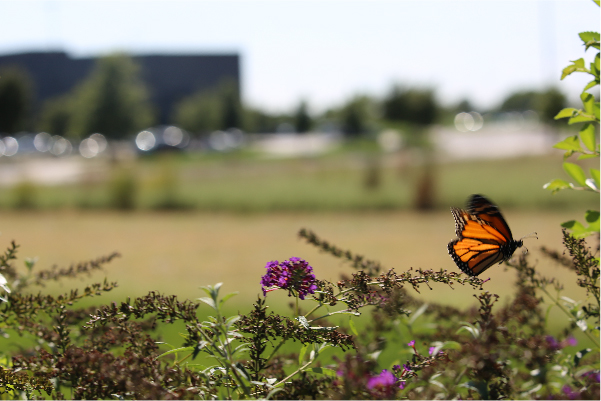 Monarch-butterfly-wichita-kansas