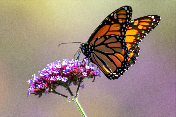 Monarch-butterfly-wisconsin