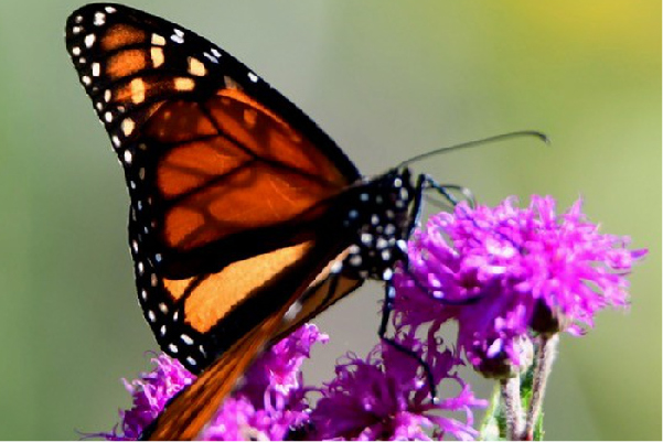 Monarch-butterfly-michigan
