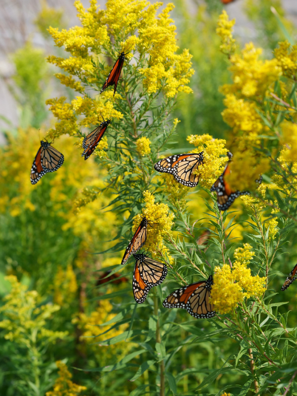 Monarch-butterfly-group-michigan